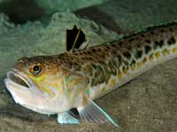 giftig fisk danmark